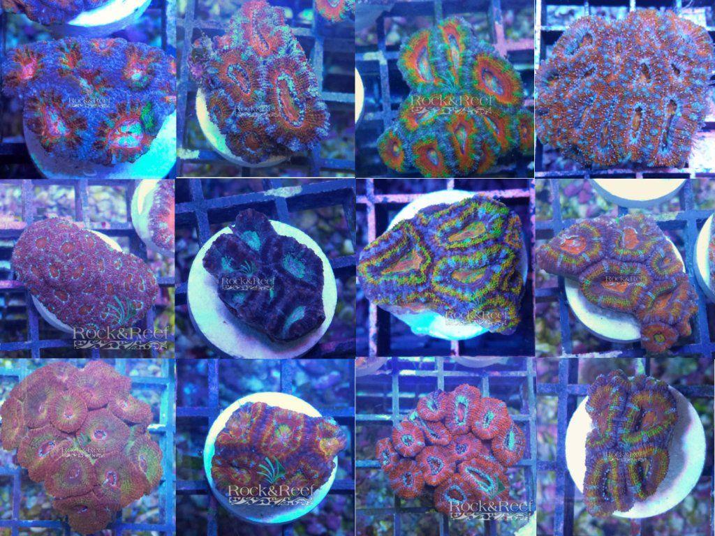 Acanthas Rock&Reef.jpg