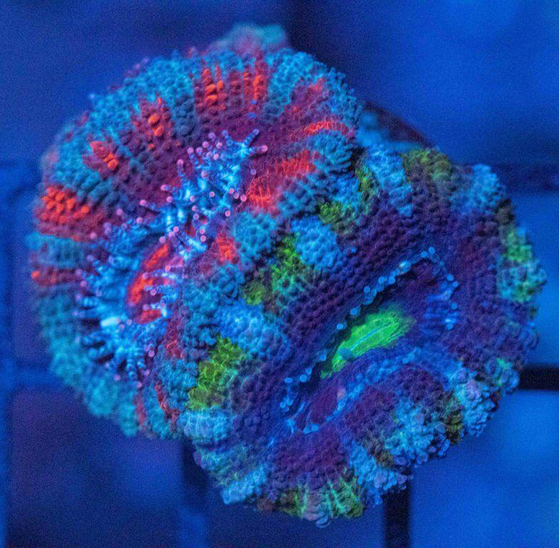 Acanthastrea Bicolor Luz Azul.JPG