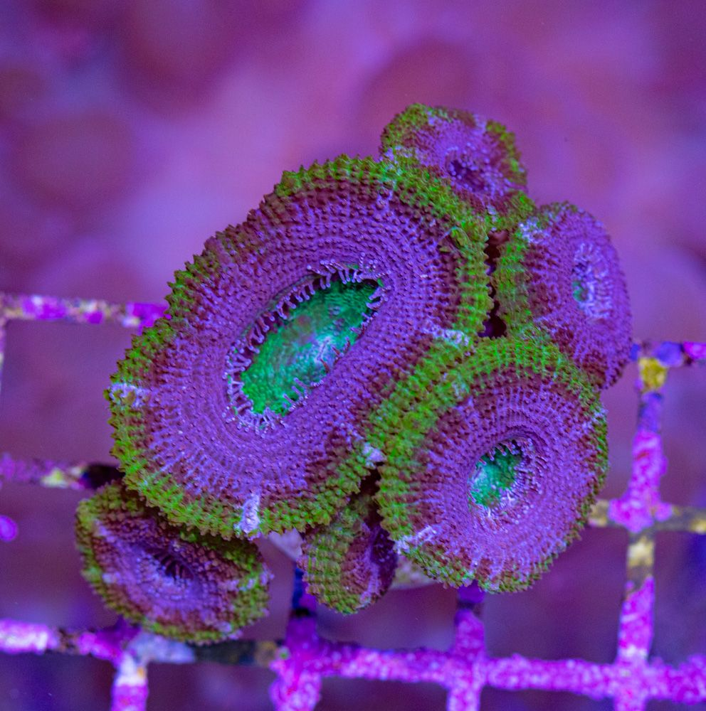 Acanthastrea Candy Crush Luz Día.JPG