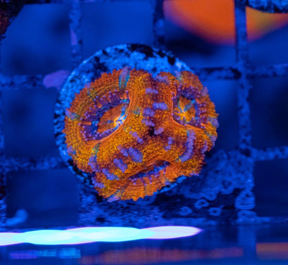 Acanthastrea Rainbow Luz Azul (5).JPG