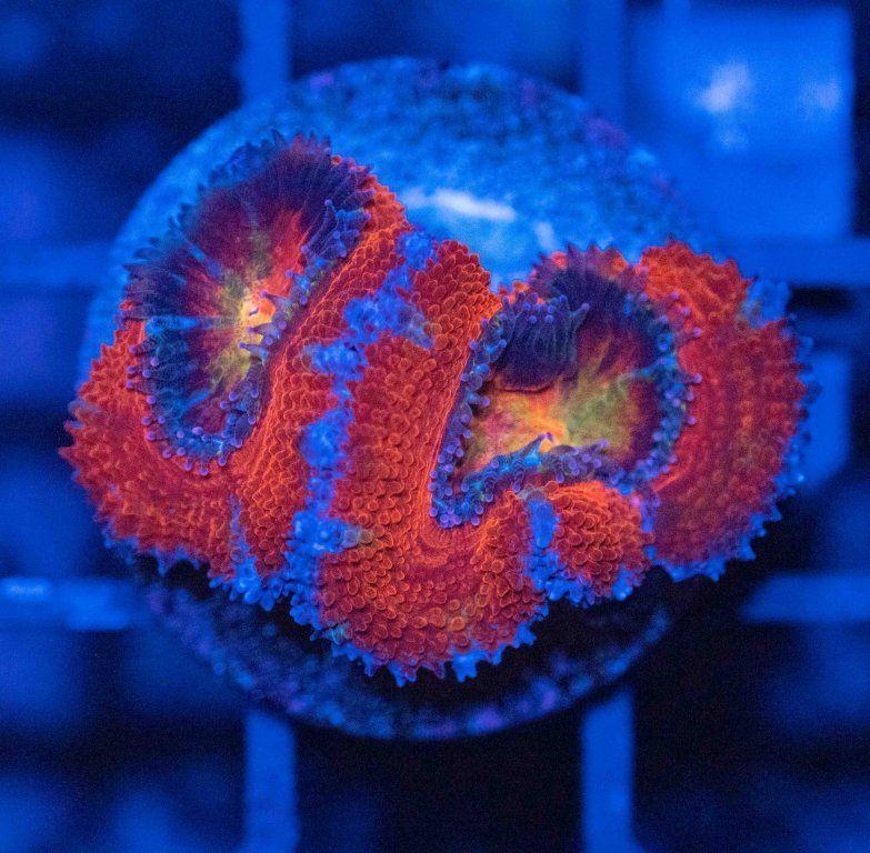 Acanthastrea Rainbow Luz Azul.JPG
