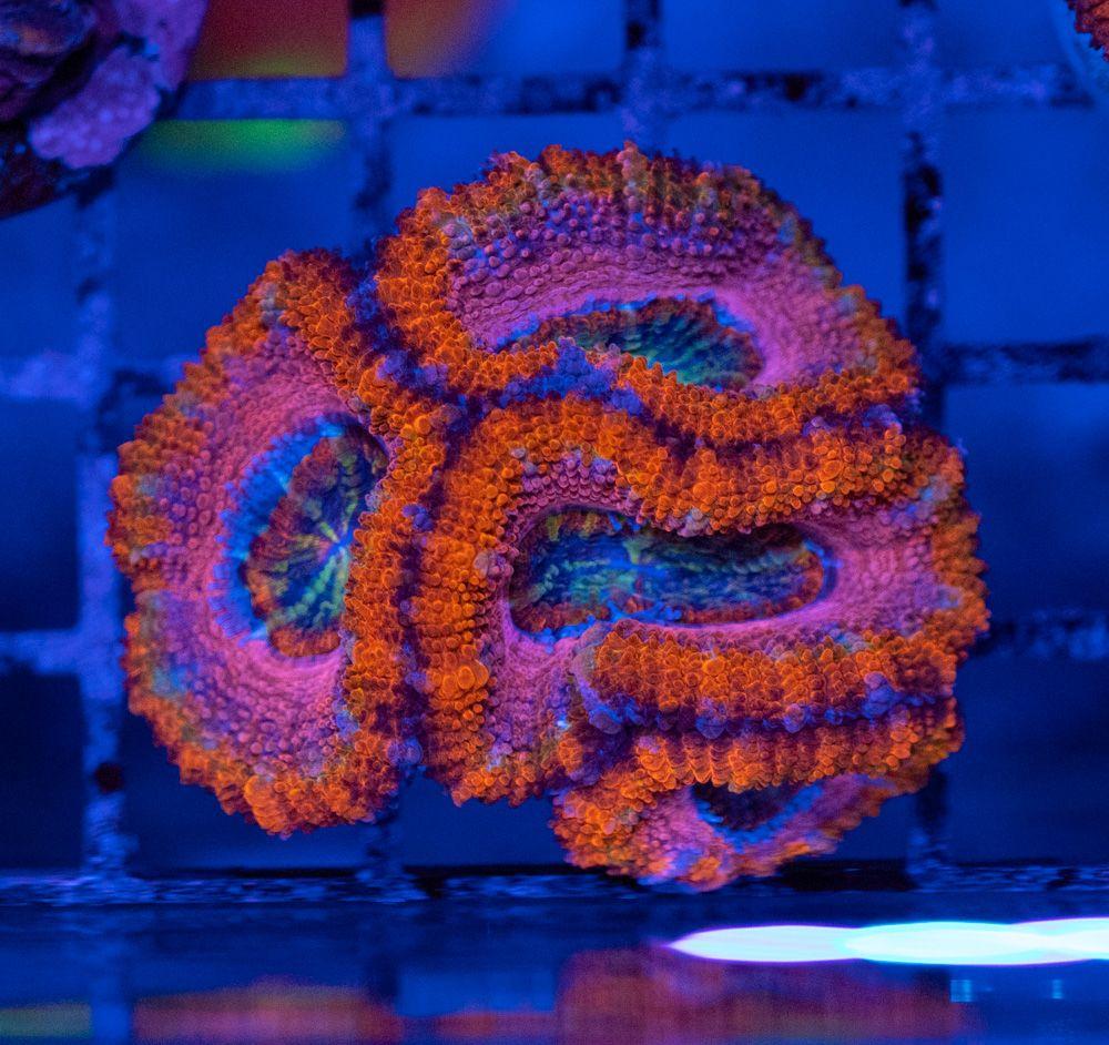 Acanthastrea Rainbow Luz Azul_1.JPG