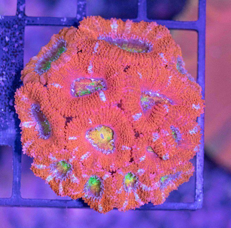Acanthastrea Rainbow Premium.JPG