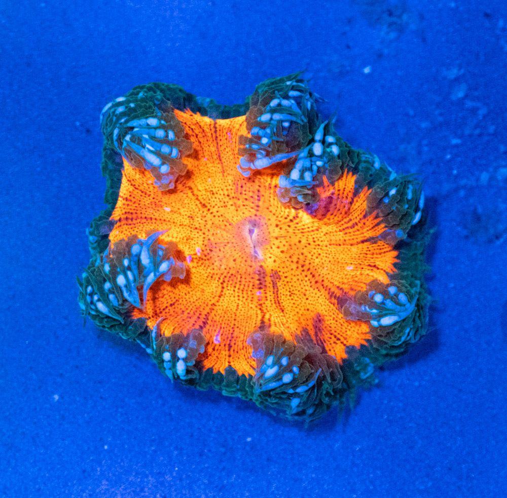 Anémona Rock Flower Crucifer Luz Azul.JPG