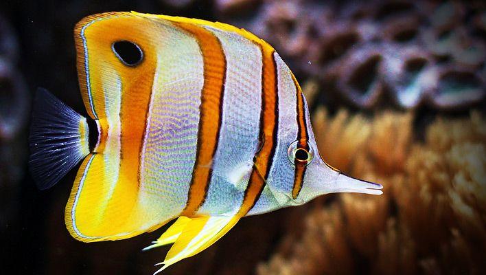 copperband-butterflyfish1.jpg