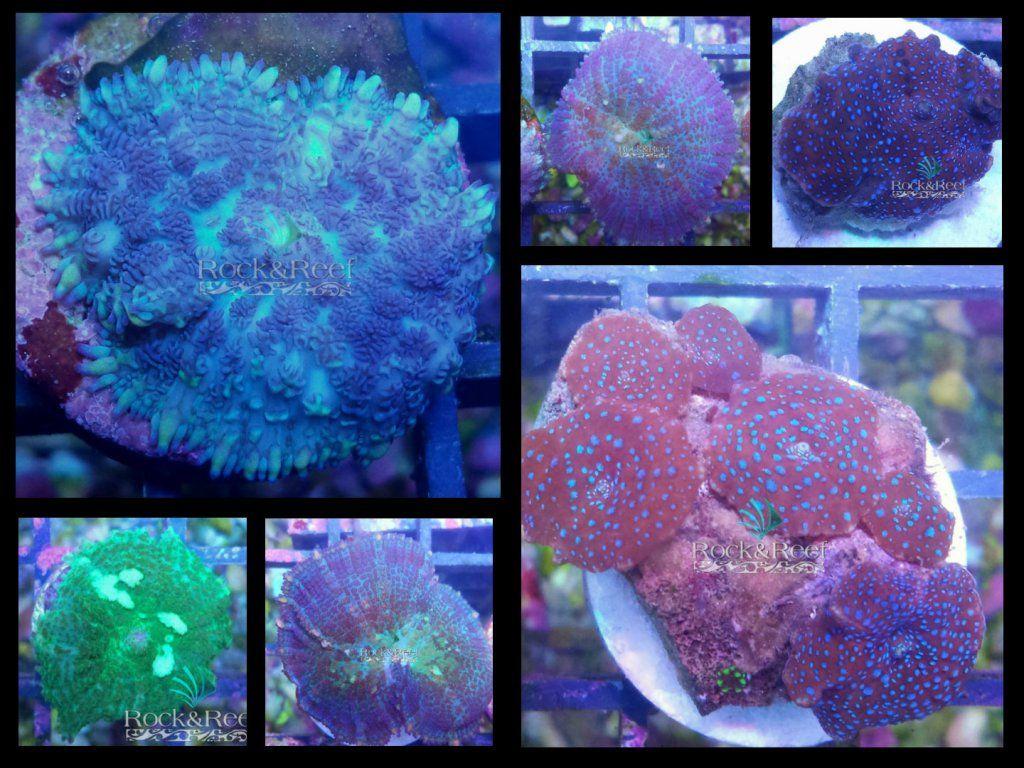Disco_Rhodactil_-Rock&Reef.jpg