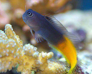 ecsenius-bicolor.jpeg