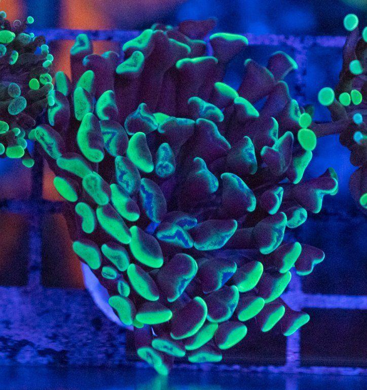 Euphyllia Paraancora Green Luz Azul.JPG