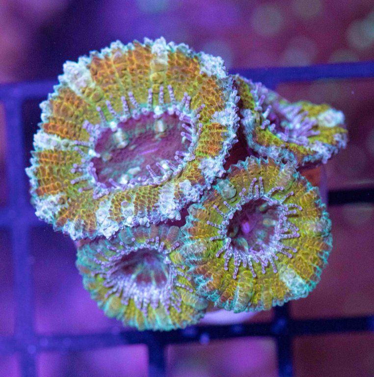 Golden Acanthastrea.JPG