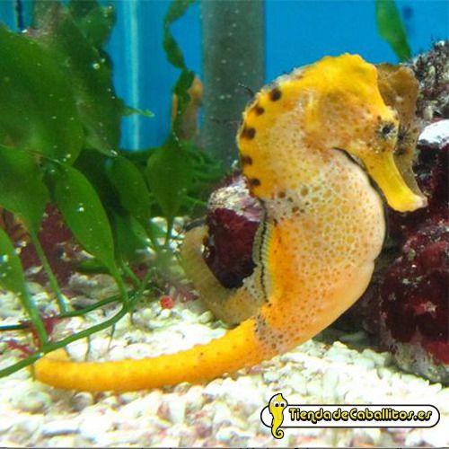 hippocampus-reidi-orange-tienda-de-caballitos-de-mar.JPG