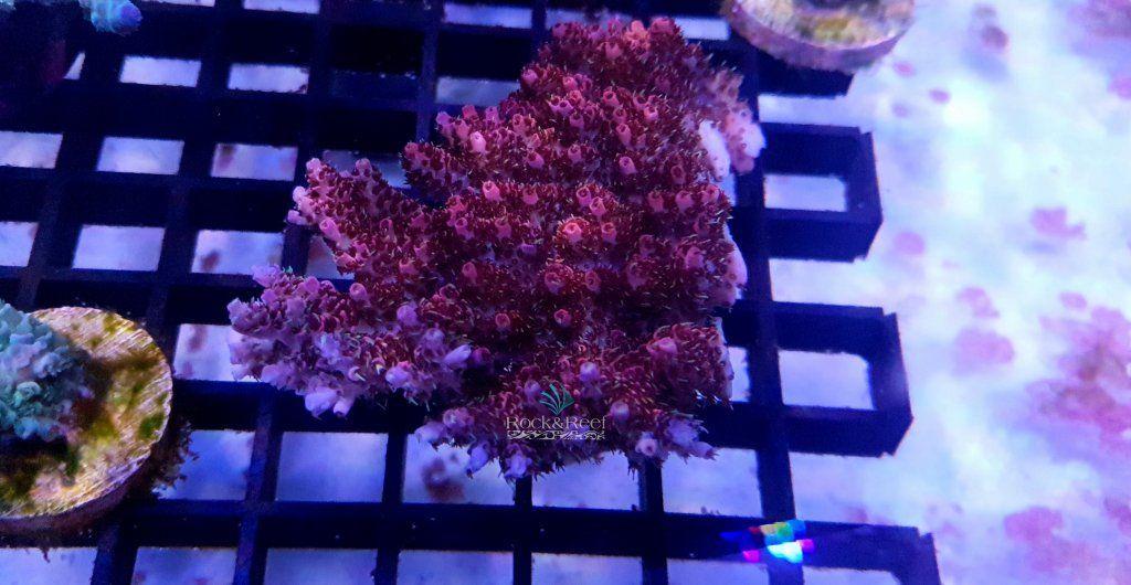HyacinthusRedP4.jpg