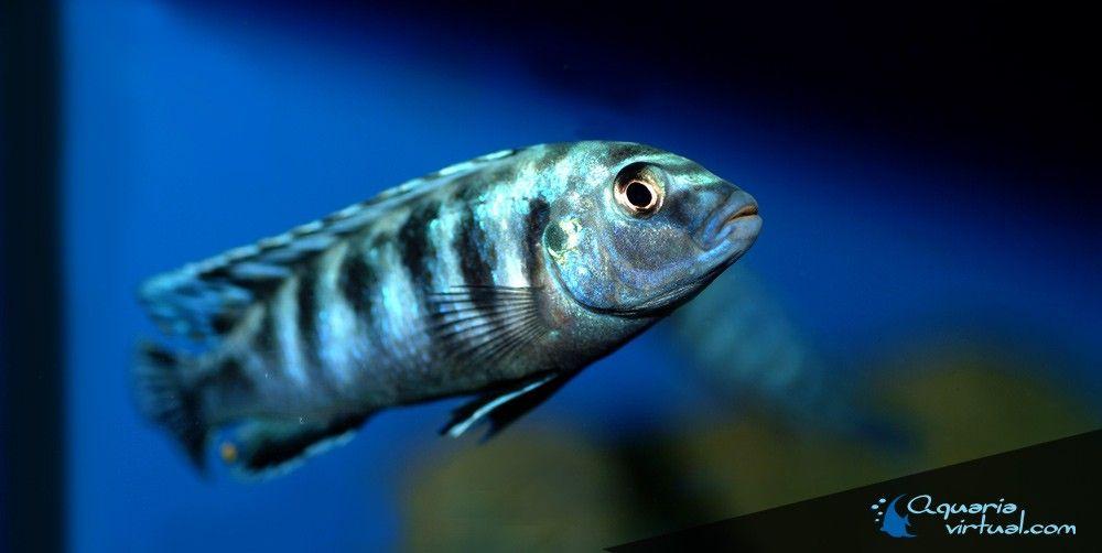 labidochromis-zebroides-4.jpg