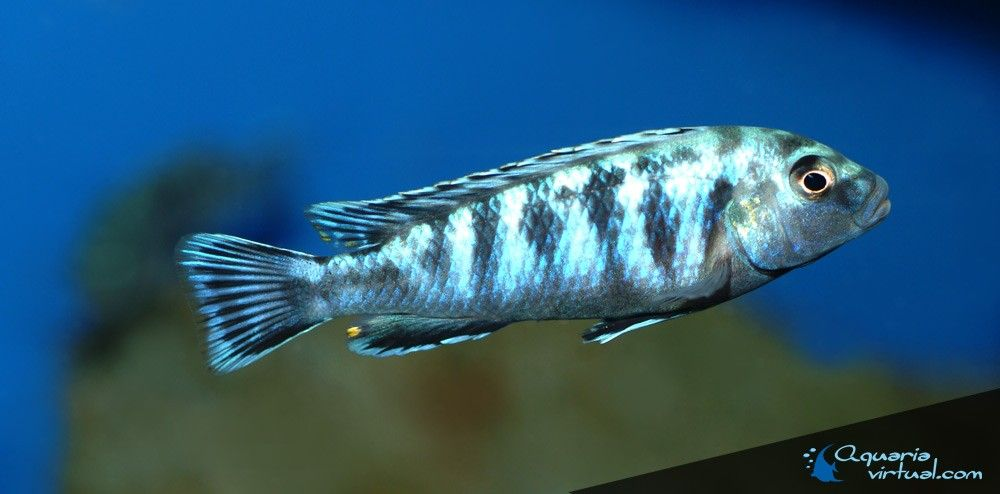 labidochromis-zebroides-5.jpg