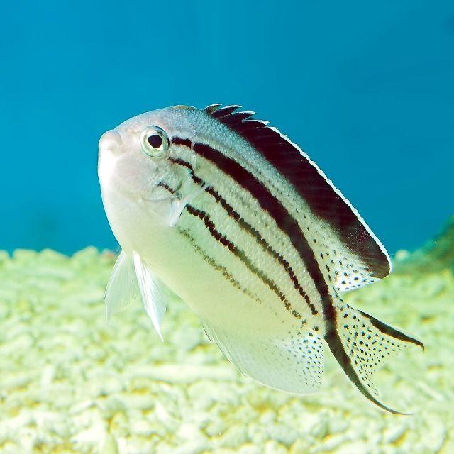 Lamarck-s-Swallowtail-Angelfish-Genicanthus-lamarcki-.jpg