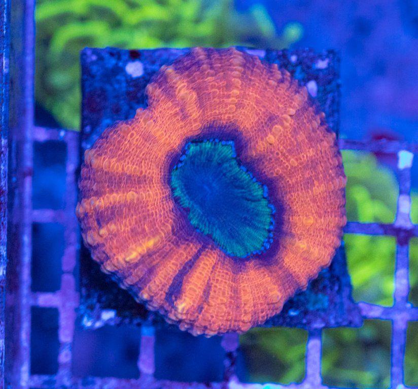 Lobophyllia Golden Apple Luz Azul.JPG