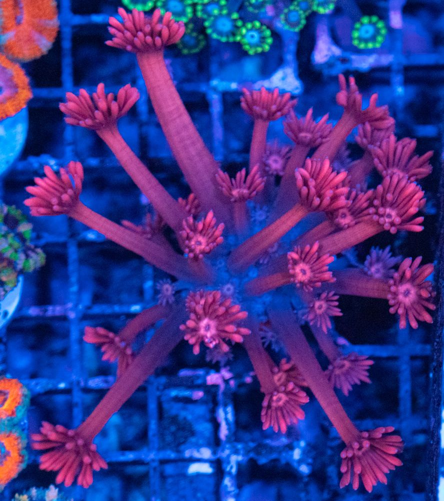 Pink Ultra Goniopora Luz Azul.JPG