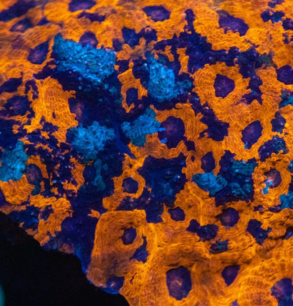 SBM Acanthastrea Echinata Golden Pieza Madre.JPG
