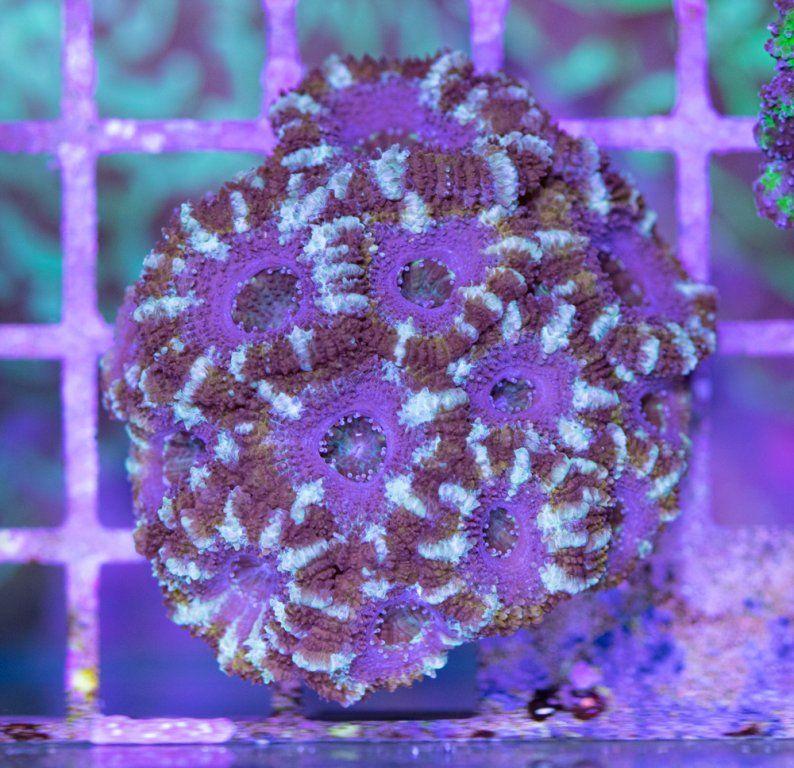 SBM Acanthastrea Lordhowensis Fake Coral Snake Luz Día.JPG