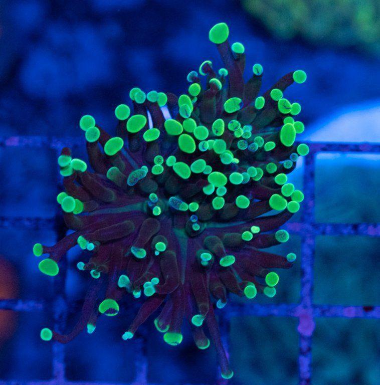 SBM Euphyllia Paraancora Green Luz Azul.JPG