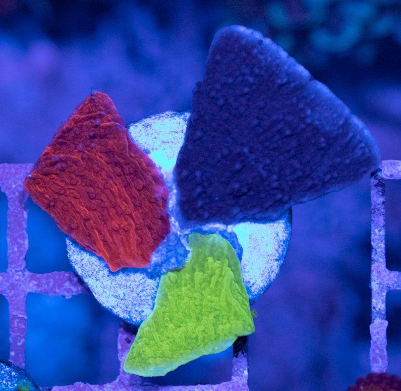 SBM Montipora Tricolor Luz Azul.JPG