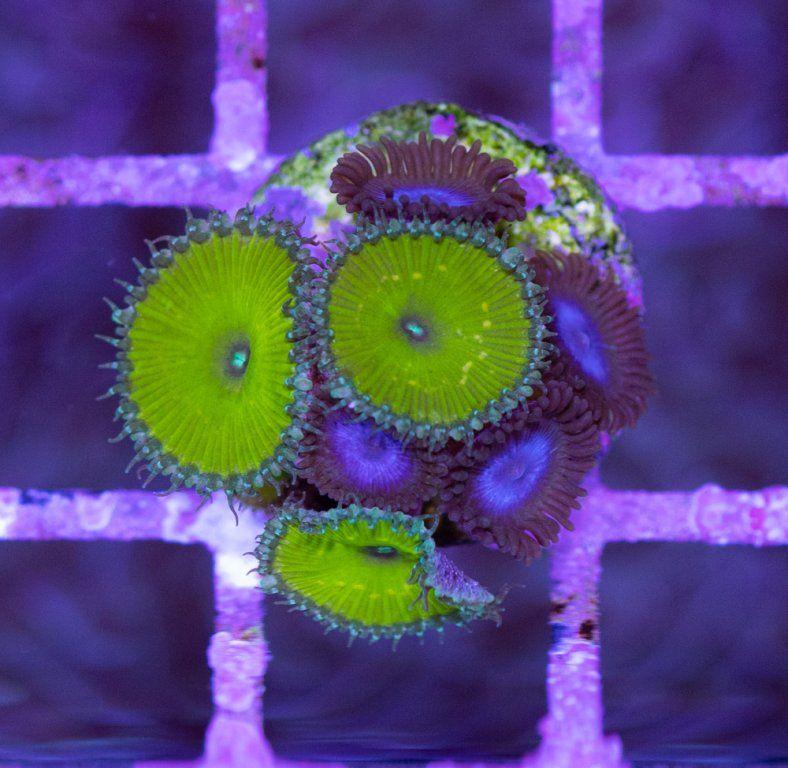 SBM Palythoa Nuclear Green & Blue Tubs Luz Día.JPG