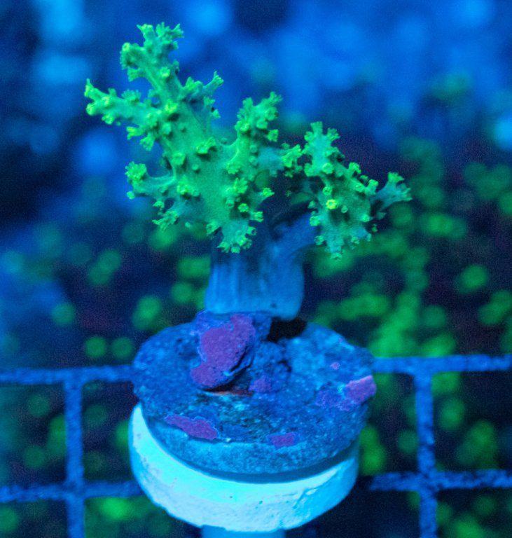 SBM Sinularia Flexibilis Fluor Luz Azul.JPG
