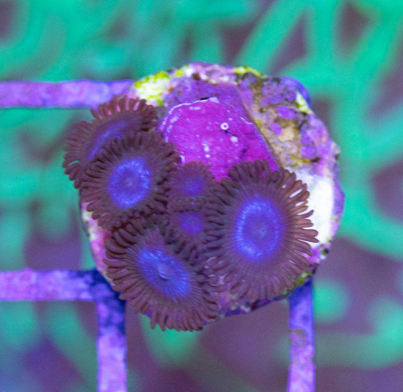 SBM Zoanthus Blue Tubs.JPG