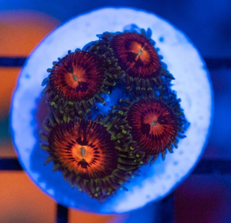 SBM Zoanthus Rainbow Incinerator Luz Azul.JPG