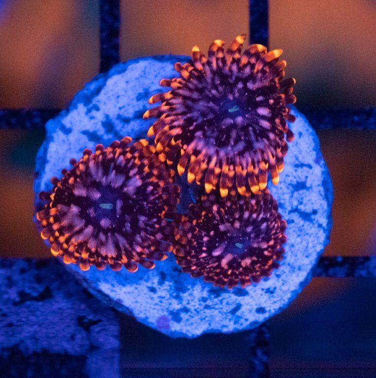 SBM Zoanthus Utter Chaos Luz Azul.JPG