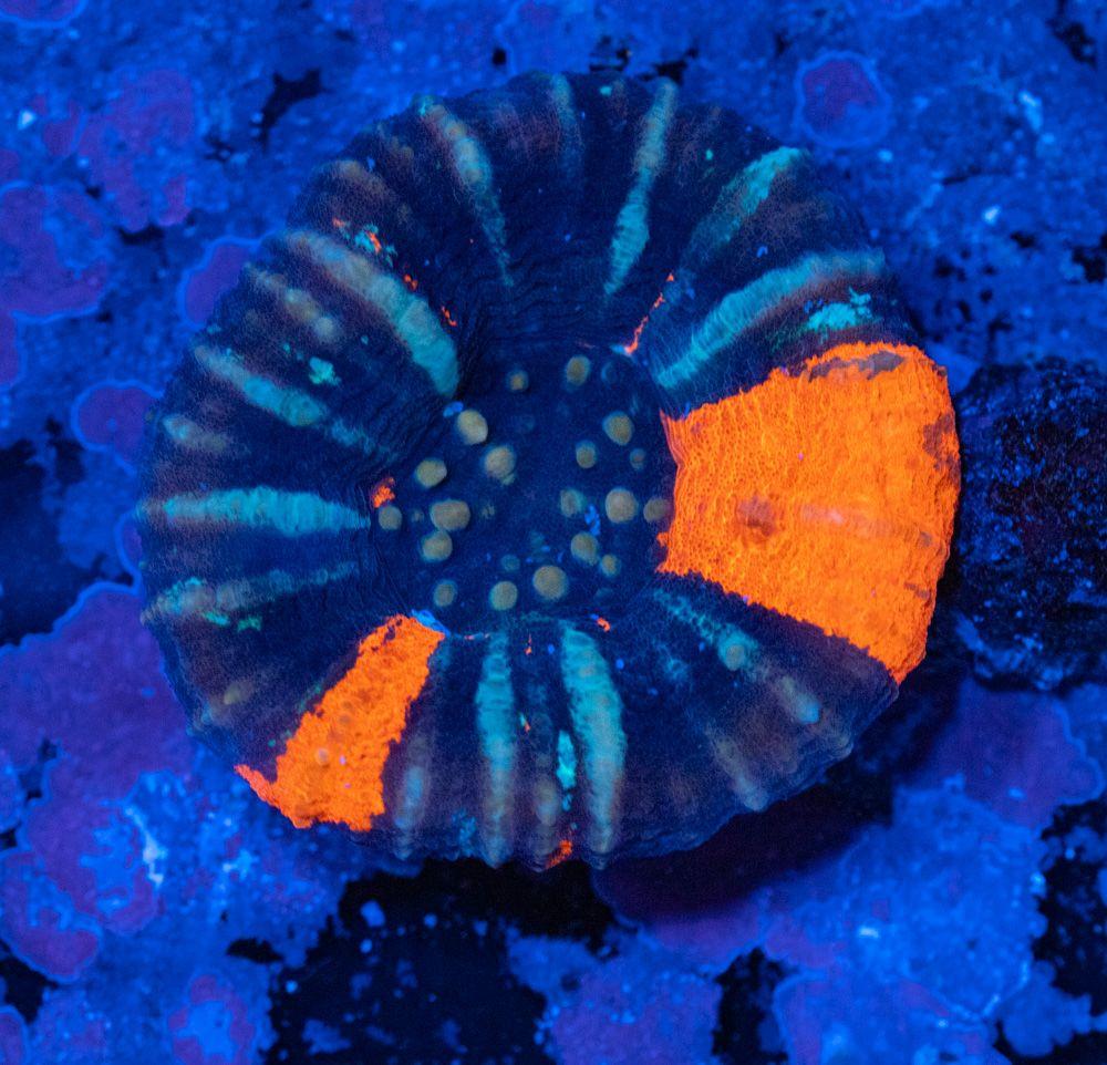 Scolymia Luz Azul.JPG