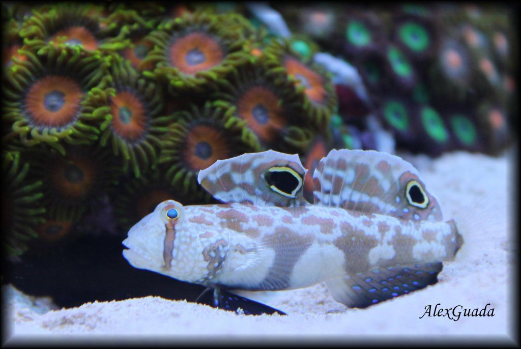 Signigobius Biocellatus TM.jpg