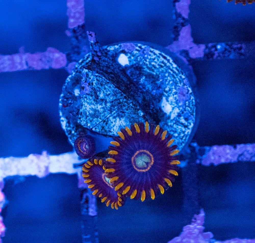 Zoanthus Blue Hornet Luz Azul.JPG