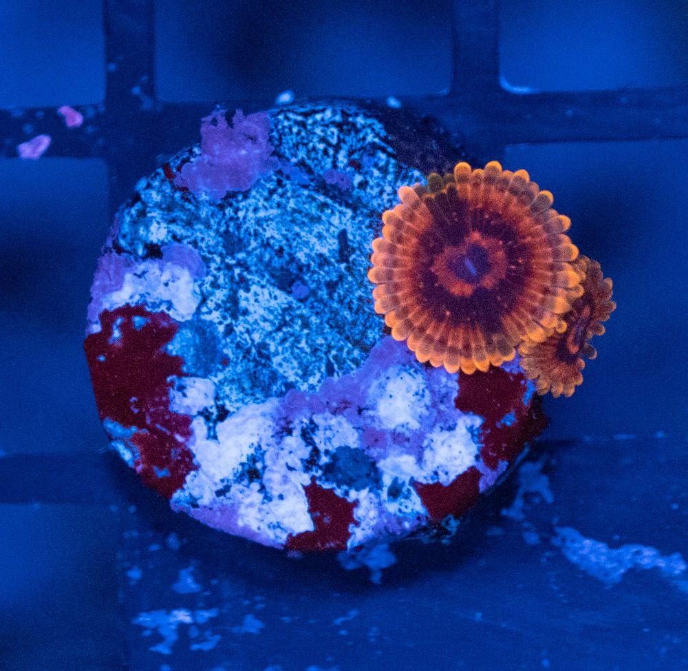 Zoanthus Mind Trick Luz Azul_1.JPG