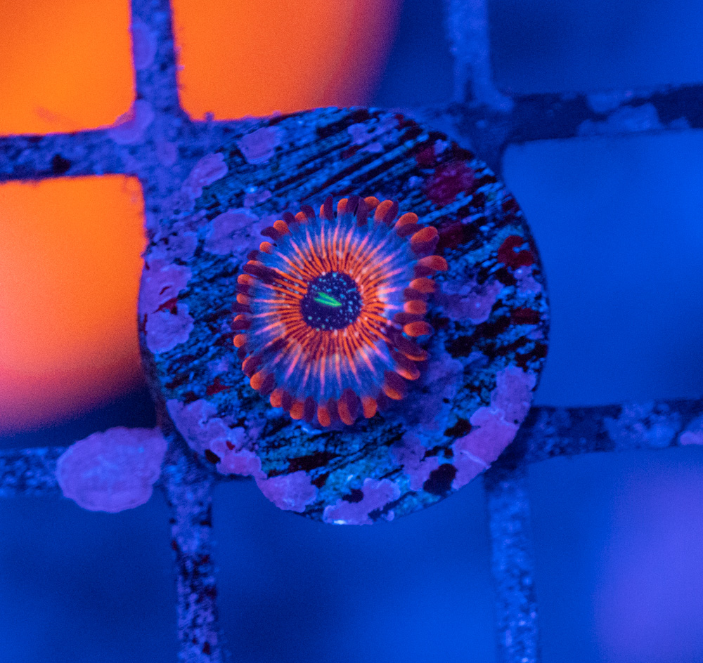 Zoanthus Seduction Luz Azul.JPG